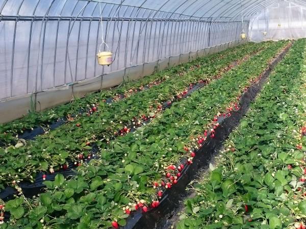 大久保町にあるJA足利アグリランド株式会社 いちご農園